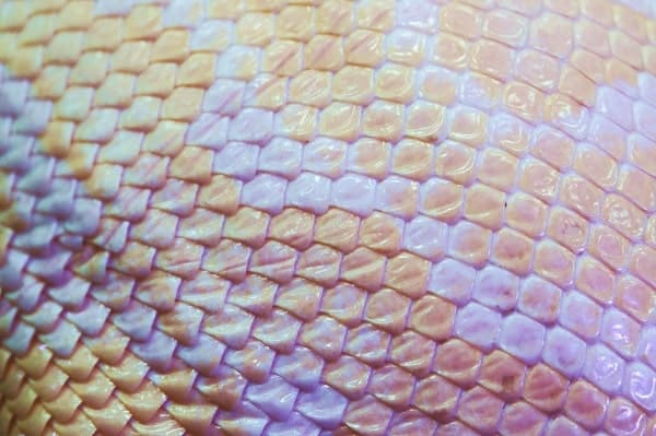 Albino Ball Python Skin Texture Close Up