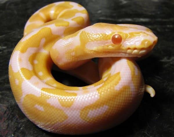 Baby Albino Ball Python