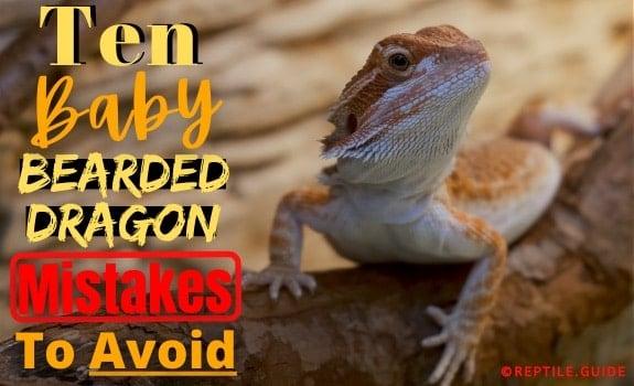 Baby Bearded Dragon Care