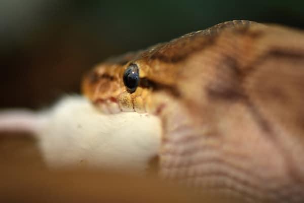 Ball python eating rat