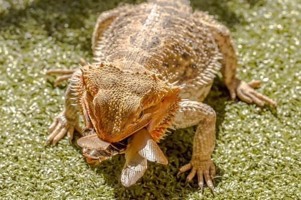 Bearded Dragon Eating Insect
