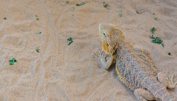 Bearded Dragon On Loose Sand Substrate