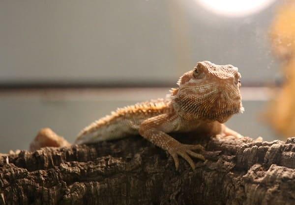 Captive Bearded Dragon Basking Inside Enclosure
