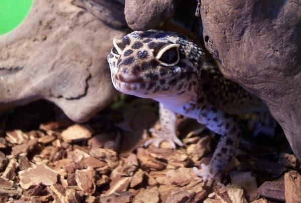 Captive Fat Tailed Gecko