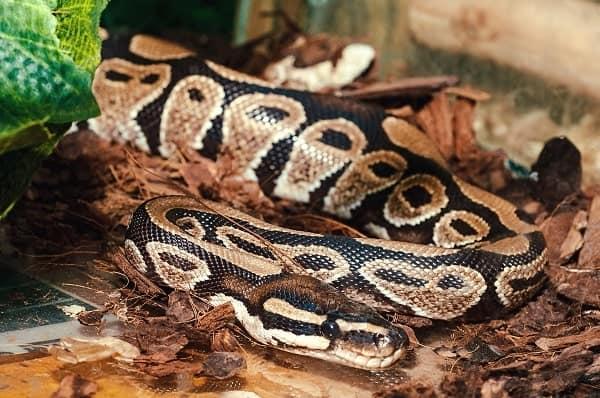 Captive Mojave Ball Python Inside Enclosure