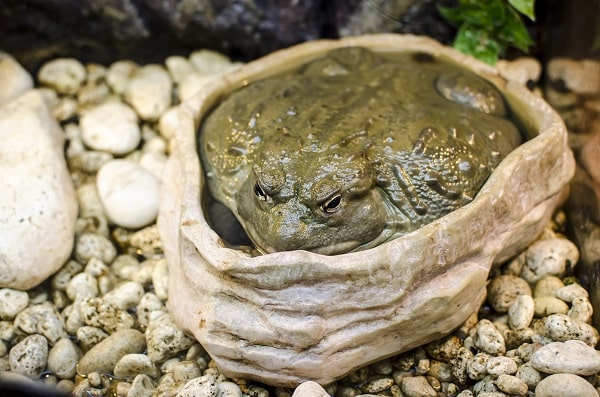 Captive Pixie Frog Sitting Water Bowl