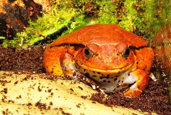 Captive Tomato Frog Inside Enclosure