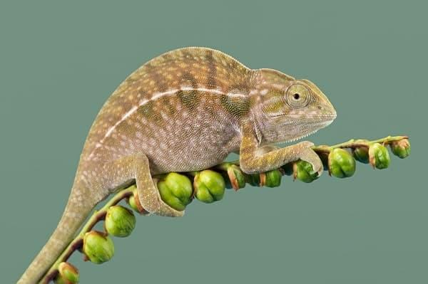 Carpet Chameleon