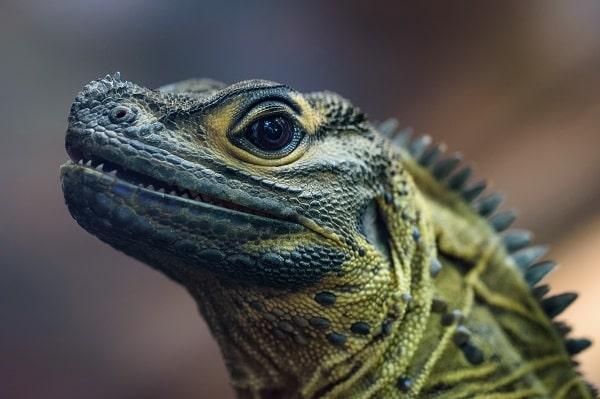 Closeup of Sailfin Dragon