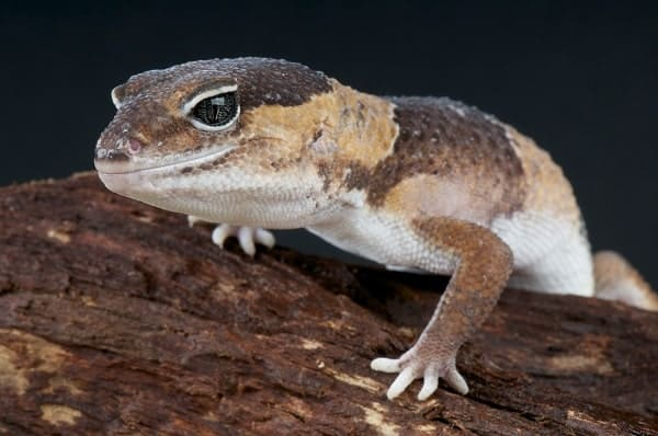 Fat Tailed Gecko Up Close