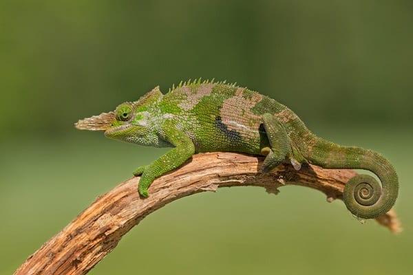 Fischers Chameleon