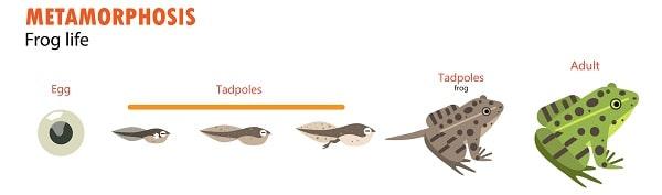 Frog Life Metamorphosis