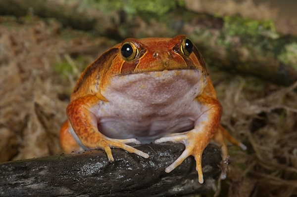 Front Facing Tomato Frog-