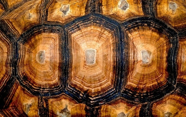 Hexagonal texture of a turtle shell