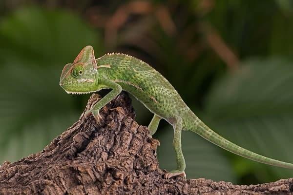 Juvenile Veiled Chameleon