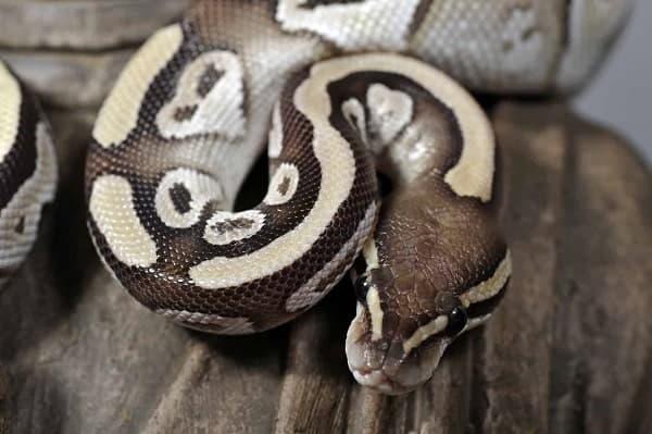 Mojave Ball Python Close Up