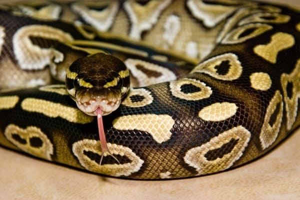Mojave Ball Python Flicking Tongue