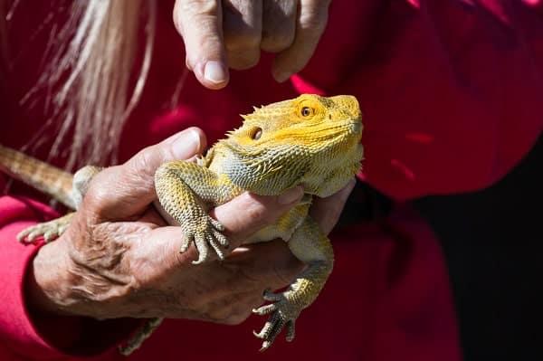 Owner Handling Bearded Dragon