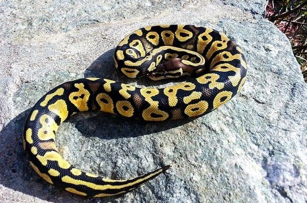 Pastel Ball Python On Large Rock