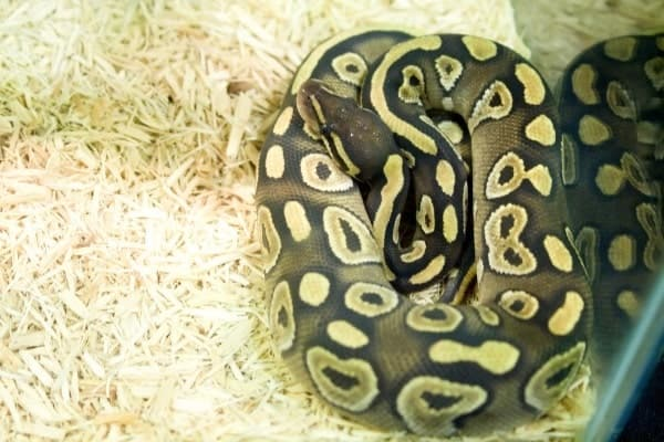 Pastel Ball Python in enclosure