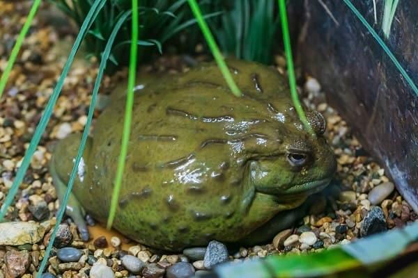 Pixie Frog Inside Habitat