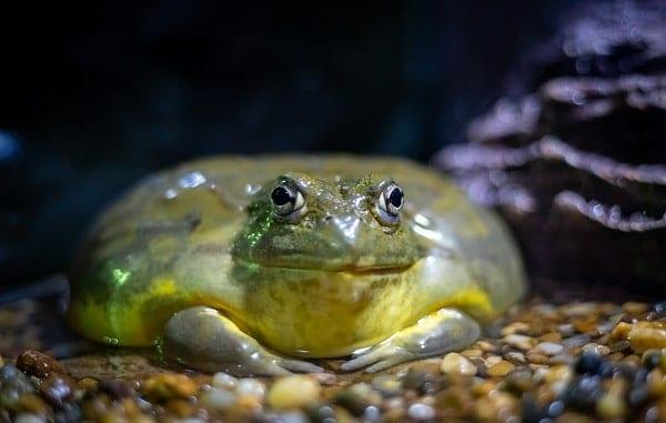 Resting Giant African Bullfrog