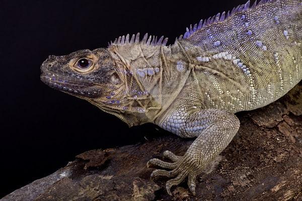 Sailfin Lizard Hydrosaurus Pustulatus