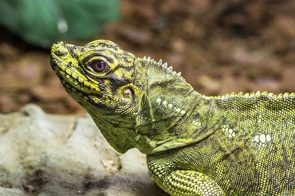 Sailfin lizard close-up