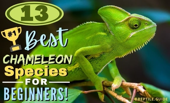 TYPES OF PET CHAMELEON SPECIES