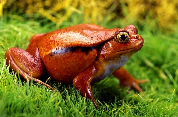 Tomato Frog Closeup