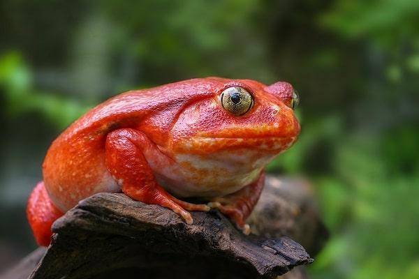 Tomato Frog Sitting On Tree