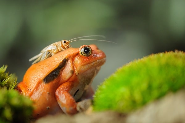 Tomato Frog With Cricket