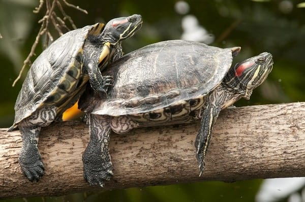 Two Turtles Mating On Tree Truck