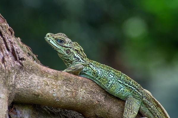 Weber's Sailfin Lizard