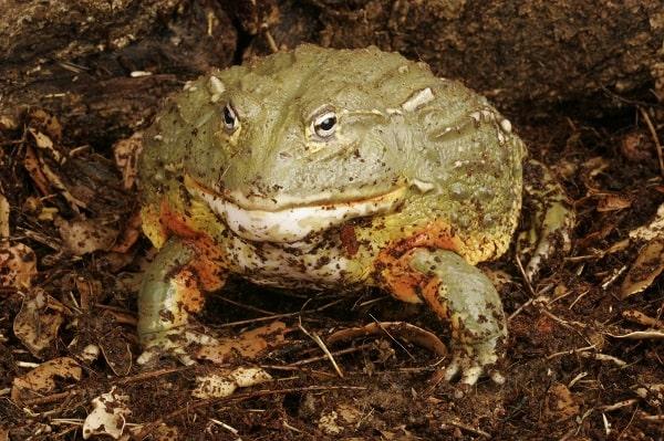 Wild African Bullfrog