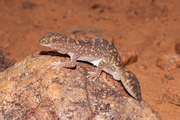 Wild African Fat Tailed Gecko