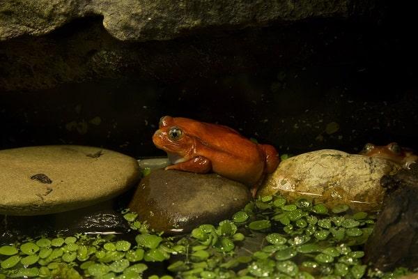 Wild Tomato Frog