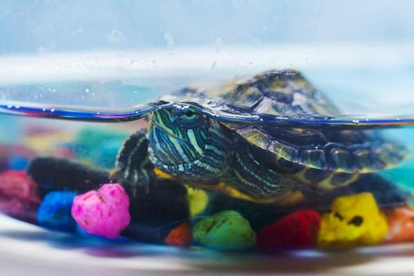 turtle in tank with rocks