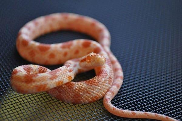 Albino Corn Snake Closeup
