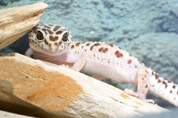 Baby Leopard Gecko Basking
