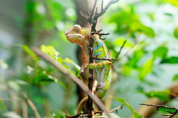 Captive Panther Chameleon Climbing Branch