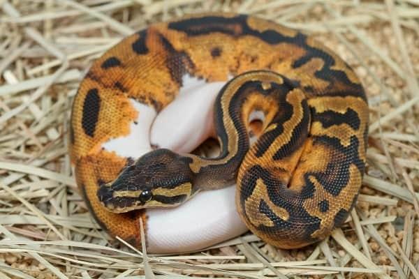 Captive Pied Ball Python