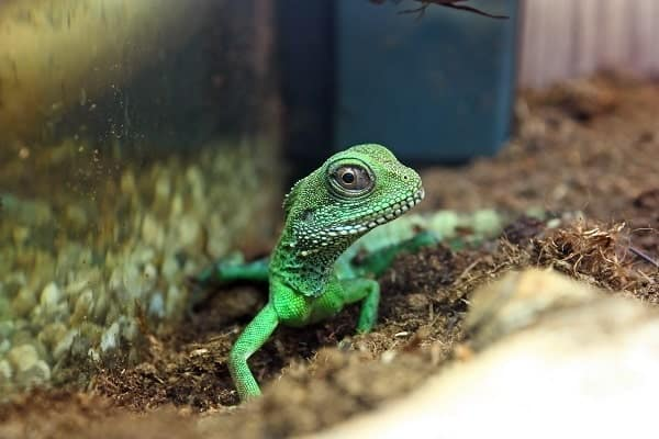 Chinese Water Dragon Inside Enclosure