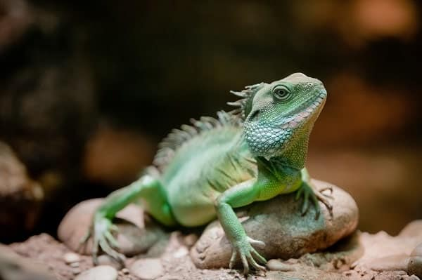 Chinese Water Dragon Laying On Rock