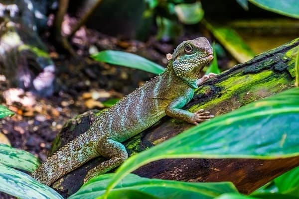 Chinese Water Dragon Outdoors