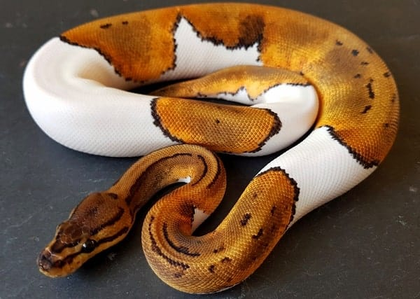 Curled Pied Ball Python
