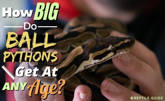 How Big do ball pythons get