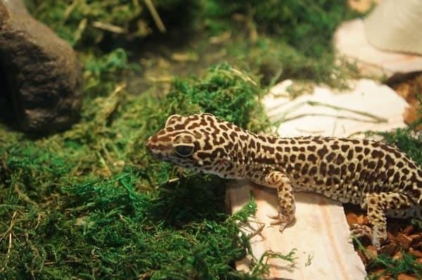 Juvenile Leopard Gecko Habitat