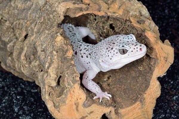 Leopard Gecko Inside Humid Hide