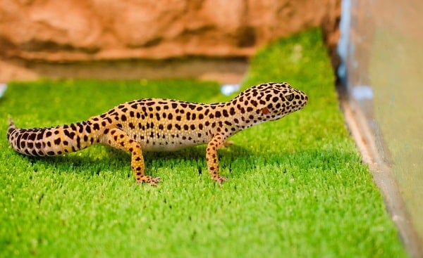 Leopard Gecko On Artificial Grass Substrate